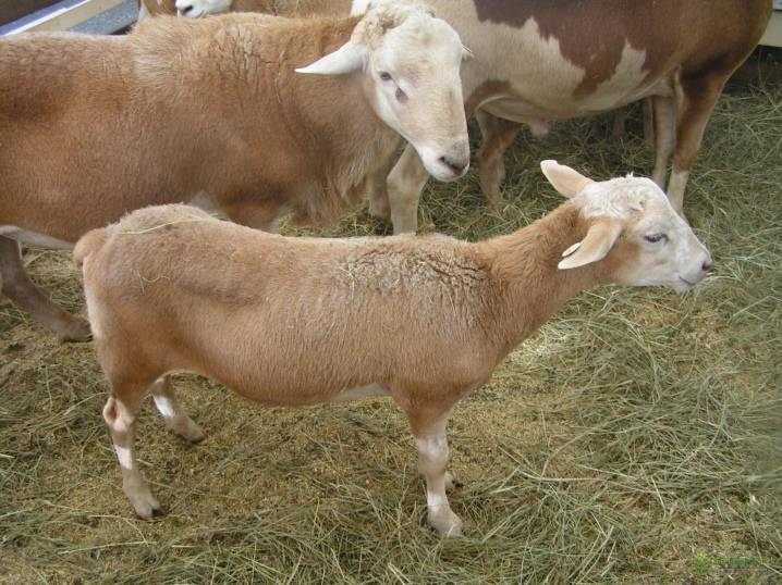 Катумская порода овец: описание и характеристика