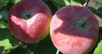 Яблоня чудное — описание сорта, фото, отзывы