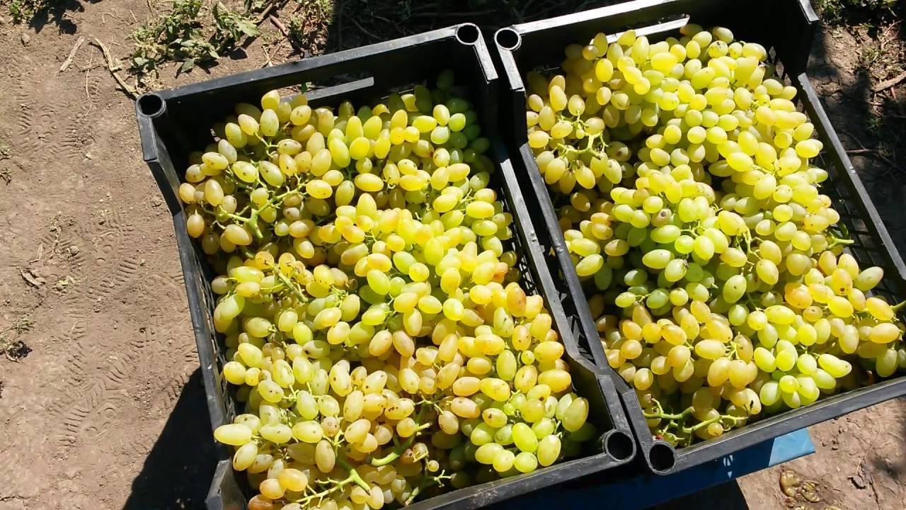 Бессеменной виноград кишмиш — описание лучших сортов